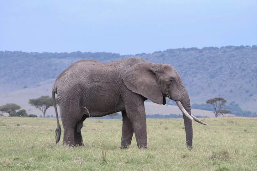 Elephant_Big
