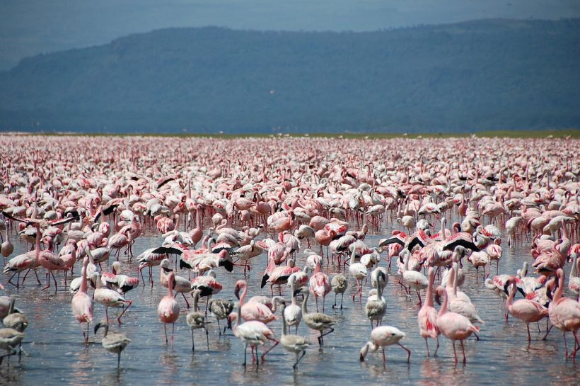 flamingos_at_Lake_Nakuru