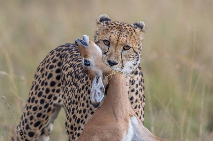 Cheetah_n_kill1