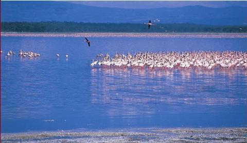 Flamingoes_Lake_Nakuru