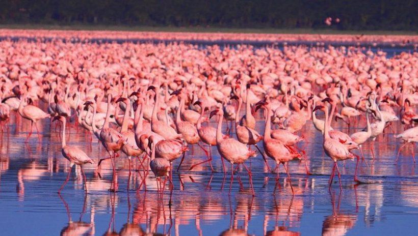 flamingos_nakuru2