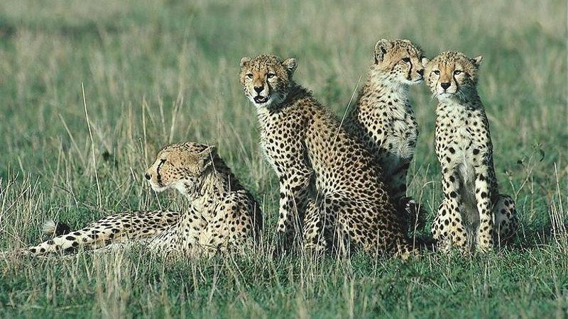 tarangire_Cheetah